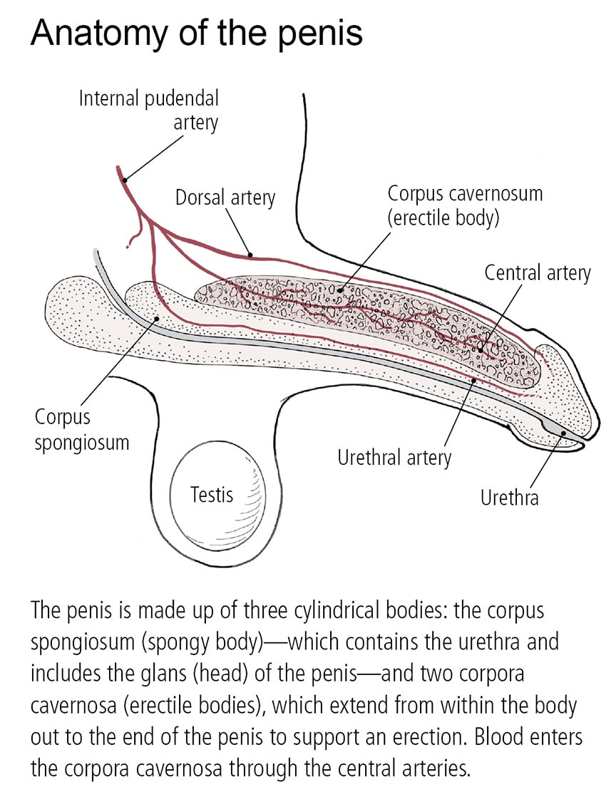 Anatomy of a penis